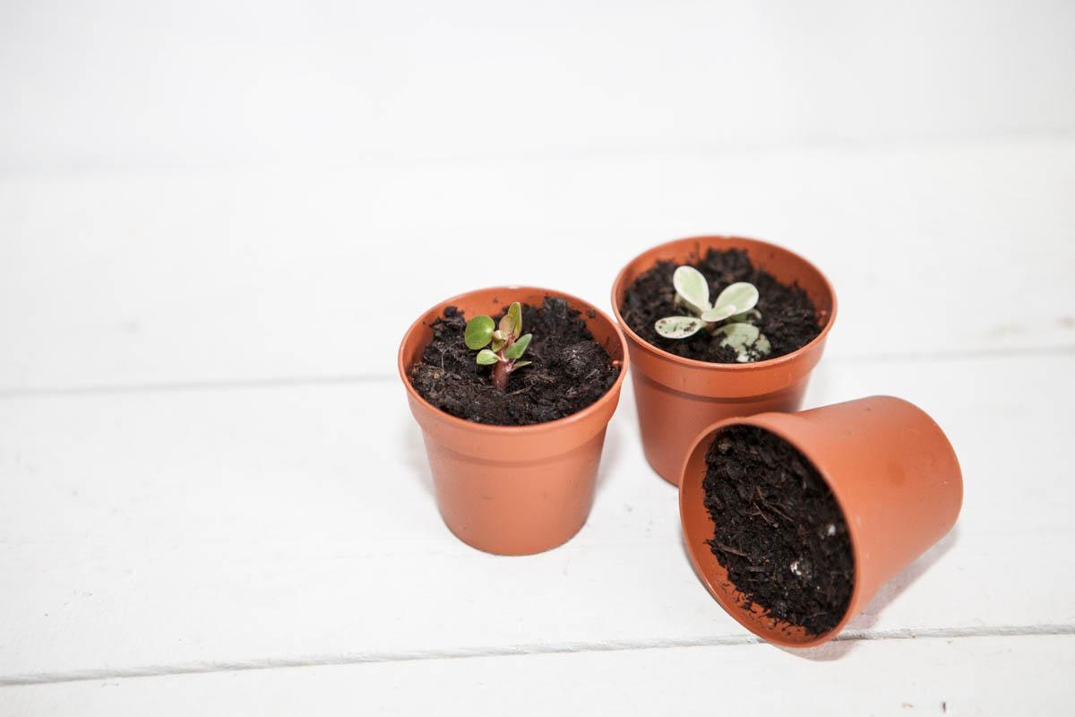 Mes premières boutures de plantes